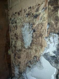 タイルをはがした壁はカビでおおわれていました